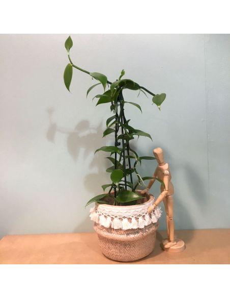 orchidée vanille d12