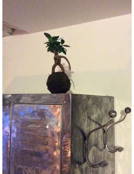 Kokedama Ficus Ibuki