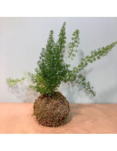kokedama asparagus densiflorus