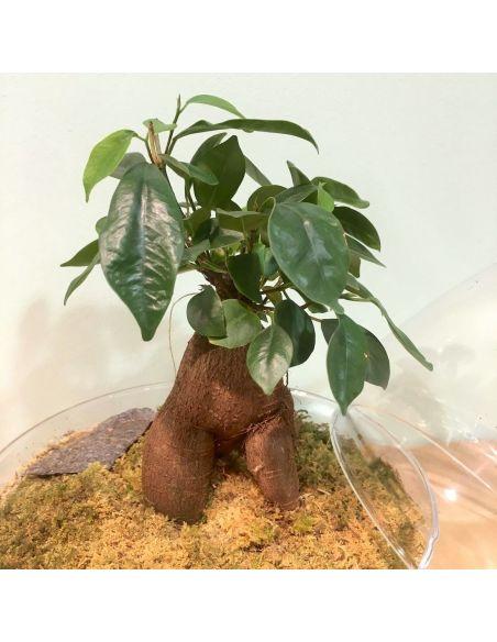 terrarium œuf: ficus